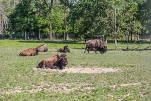 Bison exhibit at Ouabache State Park Indiana