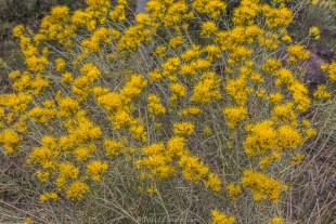 Yellow flowers, Dixie National Forest, Utah
