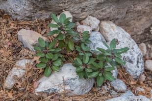 Baby Madrone plant in rocks along Devil's Hall Trail, Guadalupe Mountains National Park, Texas
