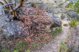 Texas Madrone tree (upper left) and small Maple tree with colorful leaves along Devil's Hall Trail, Guadalupe Mountains National Park, Texas
