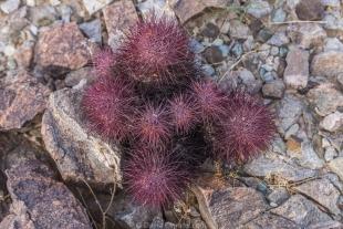 Red cactus along hike around Crystal Hill, Kofa National Wildlife Refuge, Arizona