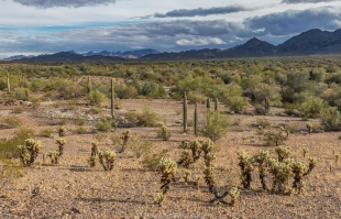 Cholla and saguaro along hike around Crystal Hill, Kofa National Wildlife Refuge, Arizona