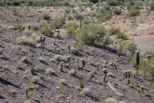 Cholla cactus garden on the hill, Crystal Hill area, Kofa National Wildlife Refuge, Arizona