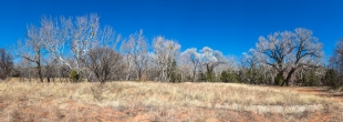 Panorama of trees in March along Oak Creek, Red Rock State Park, Sedona, Arizona