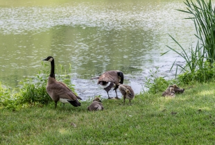 Geese family bath time, Moraine View State Park, Ellsworth, Illinois