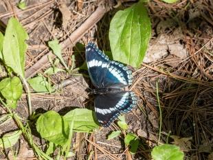 Butterfly along trail, Lake Wissota State Park, Chippewa Falls, Wisconsin