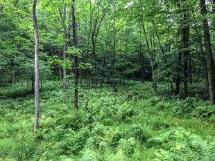 Ferns in the woods, Perkinstown Winter Sports Area, Wisconsin