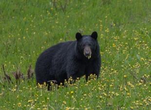 Second bear sighting
