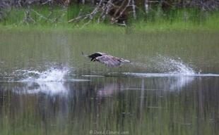 Eagle attacking ducks