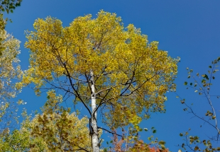 Birch tree in fall colors against blue sky, northern Wisconsin