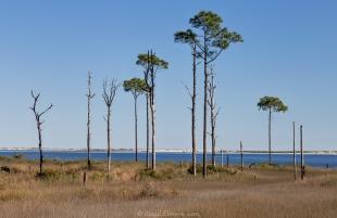 Big Lagoon State Park, Pine trees near the beach