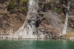 Cypress tree along Guadalupe River, Texas