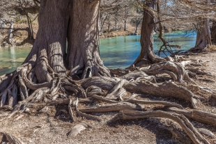 Exposed roots along Guadalupe RIver, Texas