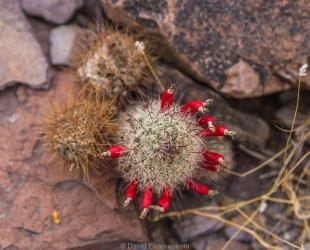 Strawberry Pincushion cactus in bloom in February, Crystal Hill Area, Kofa National Wildlife Refuge, Arizona