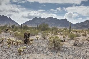 Backlit cholla and Livingston Hills, Crystal Hill Area, Kofa National Wildlife Refuge, Arizona