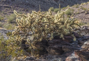 Cholla cactus along hike around Crystal Hill, Kofa National Wildlife Refuge, Arizona