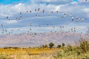 Snow Geese in flight, Imperial Wildlife Area, Wister Unit, California