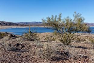 Saguaro cactus and Creosote tree, Alamo Lake State Park, Arizona