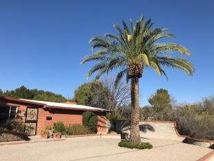 Palm in residential area, Tucson, Arizona