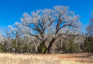 Cottonwood tree along Oak Creek, Red Rock State Park, Sedona, Arizona