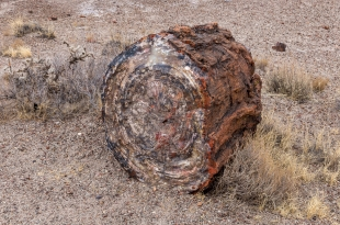 Rings and colors in a log next to cactus and grass, Crystal Forest, Petrified Forest National Park, Arizona