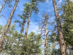 Large dead pine along Trail 396, Prescott National Forest, Arizona