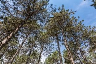 Pine trees, Lake Wissota State Park, Chippewa Falls, Wisconsin