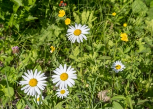 Oxeye daisies and butter cups along ATV trail near Sailor Lake NF Campground, Chequamegon-Nicolet National Forest, Park Falls, Wisconsin