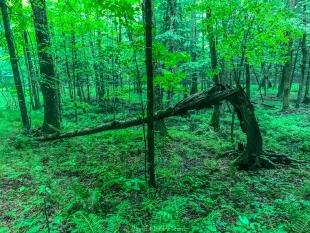 Dead tree, Perkinstown Winter Sports Area, Wisconsin