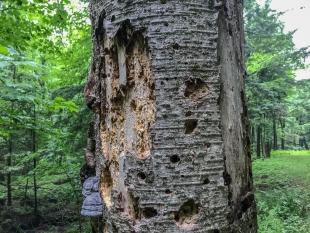 Rotten tree, Perkinstown Winter Sports Area, Wisconsin