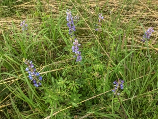 Lupine, Prairie Wildflower Trail, Lake Wissota State Park, Chippewa Falls, Wisconsin