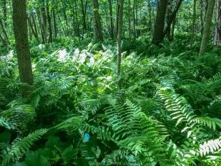 Cinnamon ferns along Beaver Meadow Nature Trail, Lake Wissota State Park, Chippewa Falls, Wisconsin
