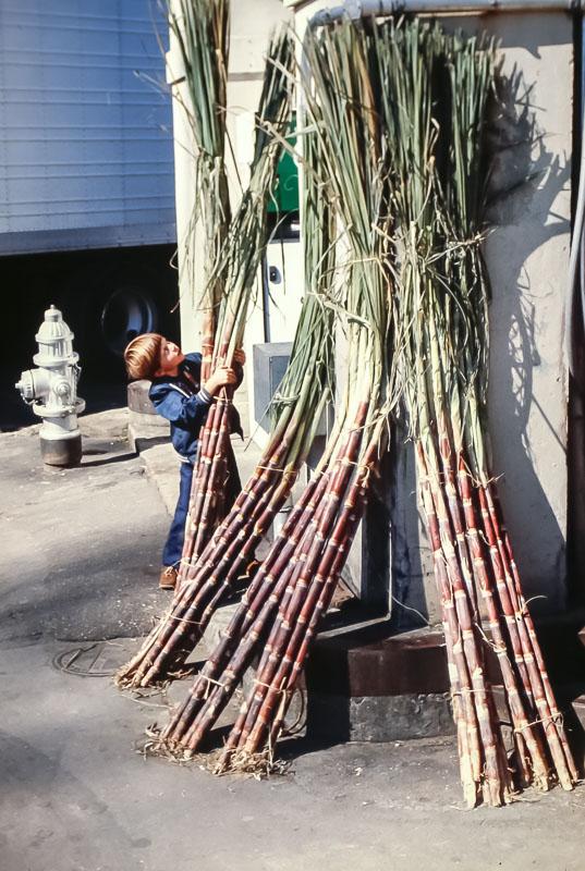 Sugar cane harvest - November 1980
