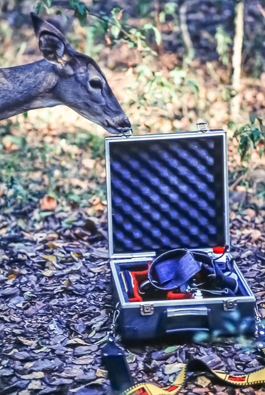 Deer at Armand Bayou Nature Center - November 1980