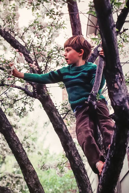 Crabapple tree - Pickford Drive - May 1981
