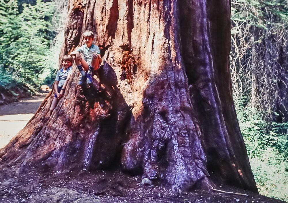 Mariposa Grove - July 1985