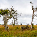 Nature's Design: Trees of the Canadian Maritimes